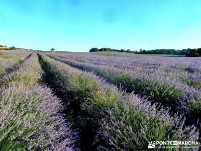 Campos Lavanda Brihuega-Provenza Española; rutas fin de semana largo viajes senderismo verano